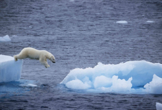 Polar bear leaping off glaciar