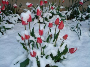 Snow Tulips - prepare for spring
